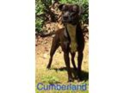 Adopt Cumberland a Black American Pit Bull Terrier / Mixed dog in Dahlonega
