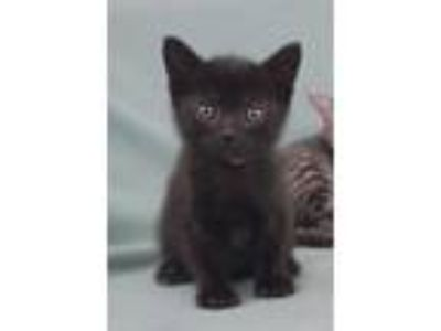 Adopt Norway a Domestic Short Hair