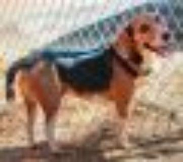 Max Beagle Dog