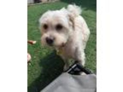 Adopt Teddy a White Shih Tzu / Mixed dog in West Des Moines, IA (25582882)