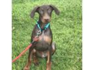 Adopt Cash a Red/Golden/Orange/Chestnut Doberman Pinscher / Mixed dog in