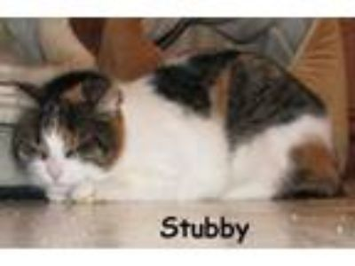 Adopt Stubby a Manx, Domestic Short Hair