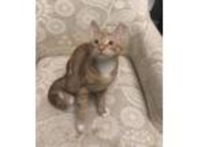 Adopt Kaj the Orangeness Kitten a Domestic Medium Hair