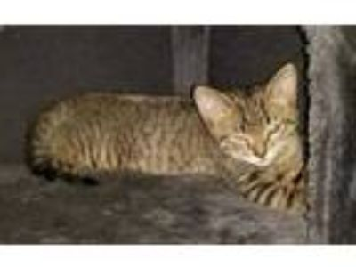 Adopt Pudgie a Brown or Chocolate Domestic Shorthair / Domestic Shorthair /