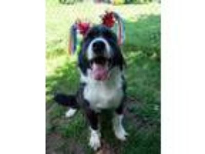 Adopt Penny a Border Collie / Mixed dog in North Branch, NJ (25846254)