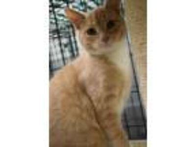 Adopt Honey a Domestic Short Hair