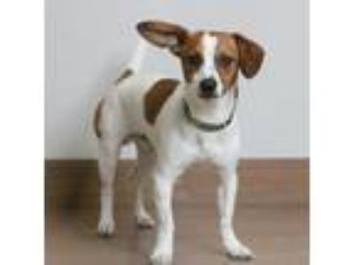 Adopt Bugsby D190837 a Jack Russell Terrier
