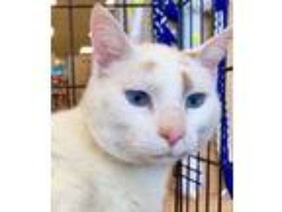 Adopt Chip a Siamese, Domestic Short Hair