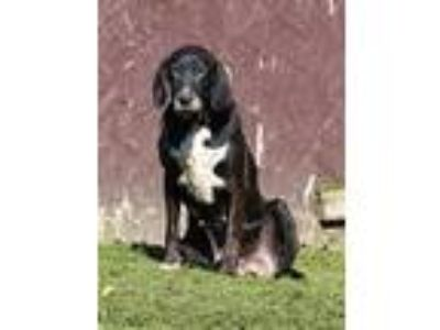 Adopt Patty a Black Labrador Retriever, Hound