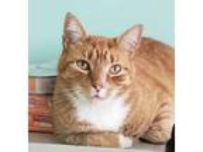 Adopt Jimmy Joe a Orange or Red Domestic Shorthair / Mixed cat in Brimfield