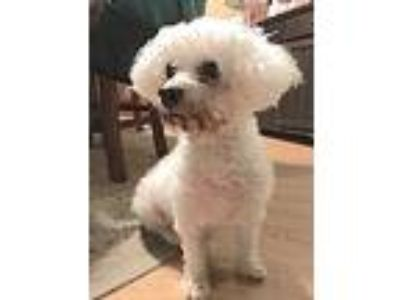 Adopt Lulu a White Bichon Frise / Mixed dog in East Hanover, NJ (24794914)