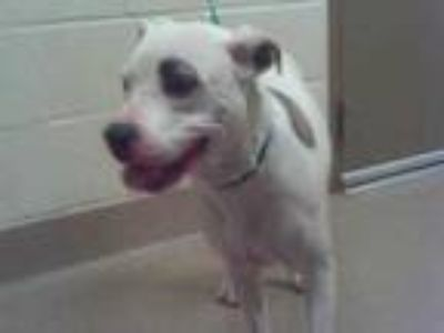 Adopt 41935220 a White American Pit Bull Terrier / Mixed dog in Carrollton