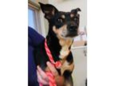 "Adopt STRAY DOG ""Monique"" a Miniature Pinscher"