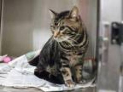 Adopt CHEECH a Brown Tabby Domestic Shorthair / Mixed (short coat) cat in