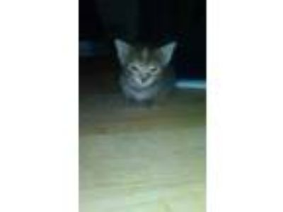 Adopt Kratos a Gray or Blue Domestic Shorthair / Domestic Shorthair / Mixed cat