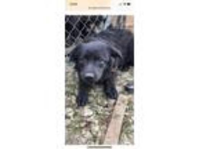 Adopt Daisy a Black Labrador Retriever