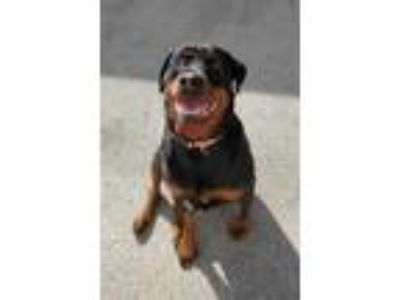 Adopt Baby Girl a Black Rottweiler / Mixed dog in New Albany, IN (24128976)
