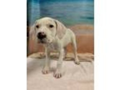Adopt HANNEN a White German Shorthaired Pointer / Mixed dog in Tangent