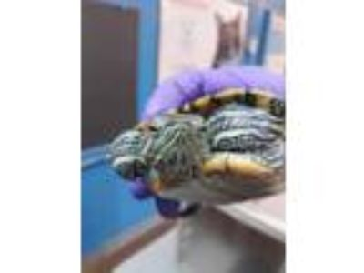 Adopt Shelly a Turtle