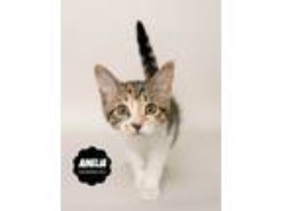 Adopt Amelia (kitten, in foster) !! a Domestic Short Hair