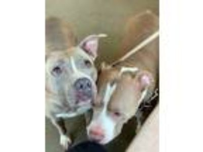 Adopt ~URGENT~ Porky and Tank a Pit Bull Terrier