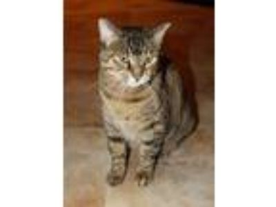 Adopt Lyndy a Brown Tabby Domestic Shorthair (short coat) cat in Smyrna