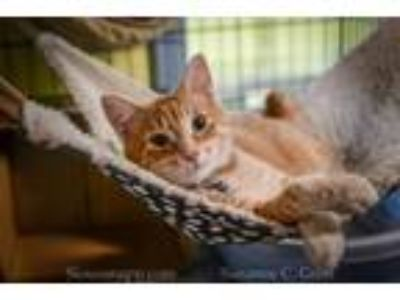 Adopt Red Lobster a Domestic Short Hair