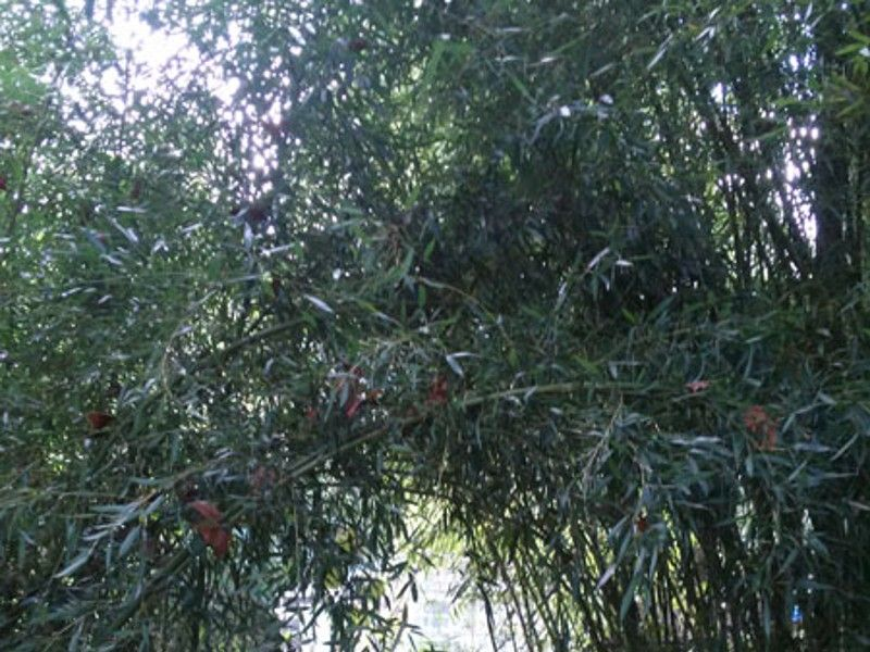 Cold Hardy Bamboo Plants Instant Privacy Screening Claz Org
