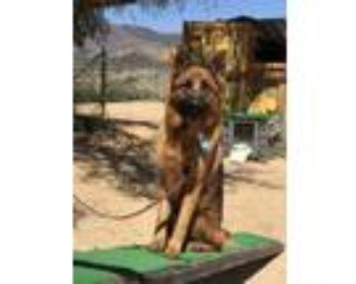 Adopt Max a Black - with Tan, Yellow or Fawn German Shepherd Dog / Mixed dog in