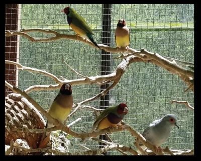Exotic Finches, Parakeets, Canaries, Diamond Doves, Button Quail