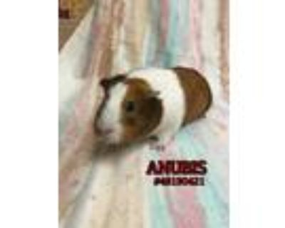 Adopt Anubis a Orange Guinea Pig / Guinea Pig / Mixed small animal in Wilkes