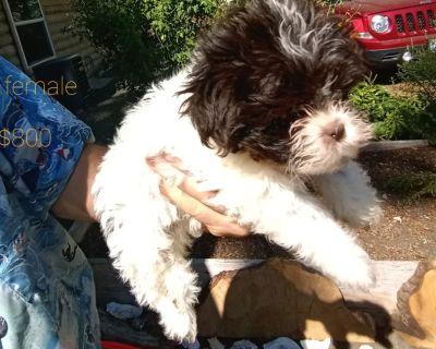 10 week old Shih Tzu mix puppies