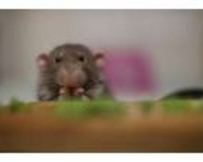 Adopt Henry, George, Frank, Deadpool and Wolverine a Rat