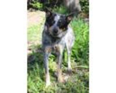 Adopt MONIKA a Australian Cattle Dog / Blue Heeler