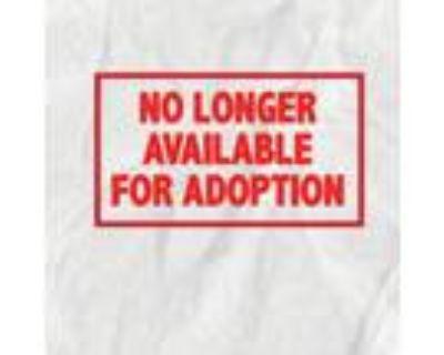 Adopt Rhea a Labrador Retriever