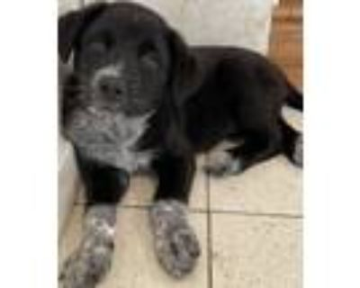 Adopt Picasso a Black - with White Border Collie / Labrador Retriever / Mixed
