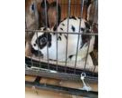 Adopt Betsy a Black Other/Unknown / Other/Unknown / Mixed rabbit in Chamblee