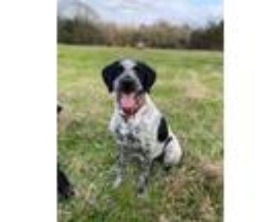Adopt Freddy a German Shorthaired Pointer