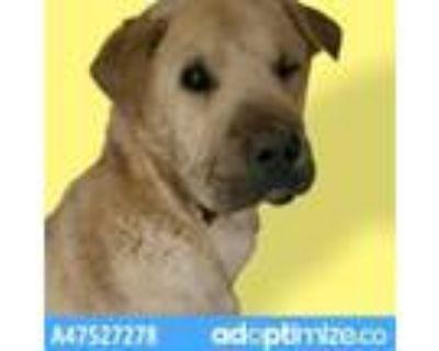 Adopt 47527278 a White Shar Pei / Mixed dog in El Paso, TX (31525840)