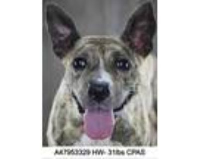 Adopt Raya a Brindle Terrier (Unknown Type, Small) / Mixed dog in Shreveport