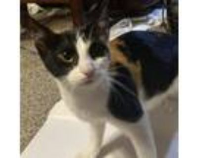 Adopt Rose a Calico or Dilute Calico Domestic Shorthair / Mixed cat in League