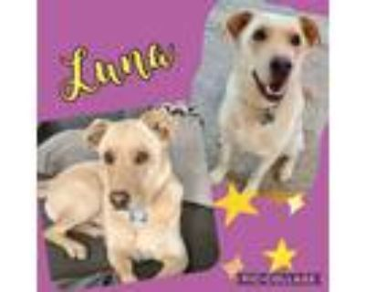 Adopt Luna a White Labrador Retriever / Mixed Breed (Large) / Mixed dog in Mead