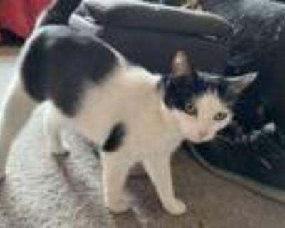 Adopt Katherine Catburn a Black & White or Tuxedo Domestic Shorthair / Mixed cat