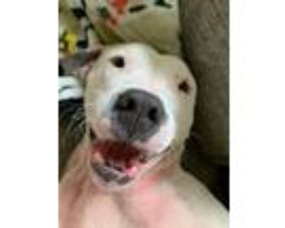 Adopt Star a American Staffordshire Terrier