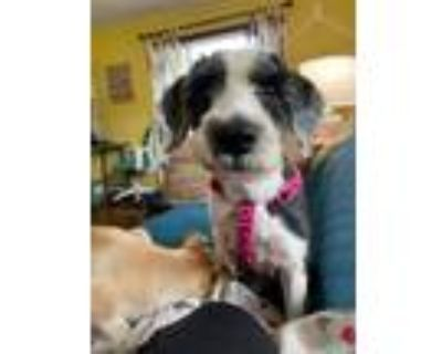 Adopt Cauliflower a Poodle (Standard) / Mixed dog in Kettering, OH (32044663)