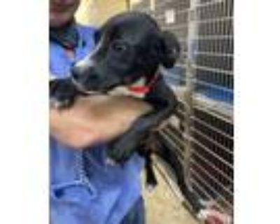 Adopt Walker a Border Collie, Labrador Retriever