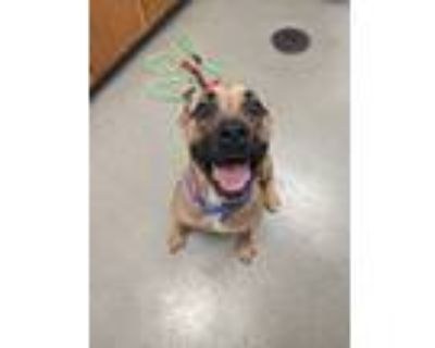 Adopt Mommas a Boxer / Mixed dog in Birdsboro, PA (31207824)