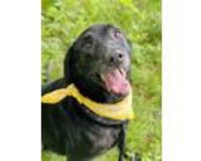 Adopt Daisy a Black Labrador Retriever / Mixed dog in Binghamton, NY (31855970)