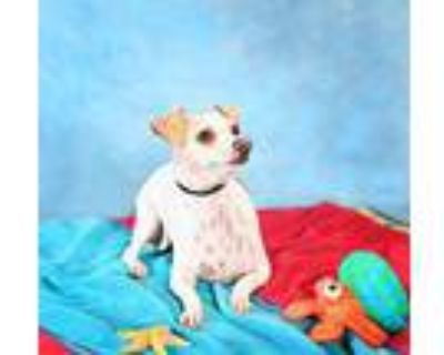 Sparky, Jack Russell Terrier For Adoption In Rescue, California