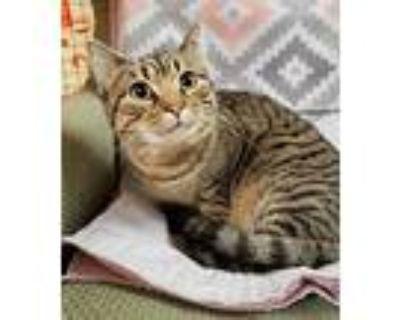 Stella, Domestic Shorthair For Adoption In Fairfax, Virginia